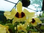 1 yellow orchid Bev Dunbar Maths Matters