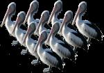 10 Pelicans Bev Dunbar Maths Matters