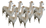 Place Value 10 alpacas Bev Dunbar Maths Matters