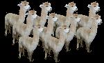 10 alpacas Bev Dunbar Maths Matters