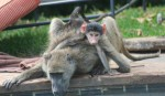 15 kg African Olive Baboon and baby Bev Dunbar Maths Matters