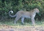 150 cm long African Leopard with 1 m long tail Bev Dunbar Maths Matters