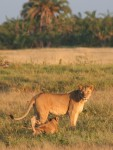 175 cm long (plus tail) African Lion and cub Bev Dunbar Maths Matters