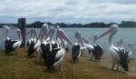 19 Pelicans Myall River Bev Dunbar Maths Matters