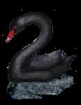 2 Swan Two - John Duffield duffield-design