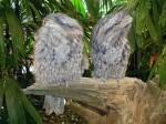 2 Tawny Frogmouth Owls Bev Dunbar Maths Matters