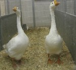 2 geese for $3300 at the Show Bev Dunbar Maths Matters
