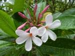 2 white frangipanis Bev Dunbar Maths Matters