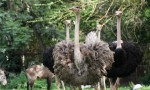 2.2 m high Ostrich Bev Dunbar Maths Matters