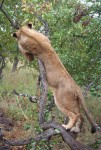 2.2 m long Stretching African lion Bev Dunbar Maths Matters
