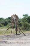 2.5 m long African Giraffe Legs Bev Dunbar Maths Matters