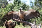 2.57 m wingspan of Sth African Vulture Bev Dunbar Maths Matters