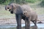 200 kg Baby African Elephant Bev Dunbar Maths Matters