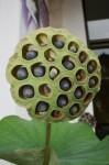 22 Lotus Seeds Bev Dunbar Maths Matters