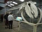 22 m long Pygmy Blue Whale Skeleton Albany WA Bev Dunbar Maths Matters
