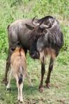 220 kg African Wildebeest & calf Bev Dunbar Maths Matters