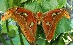 25 cm wingspan Giant Atlas Moth Bali Bev Dunbar Maths Matters