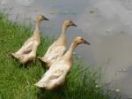 3 Ducks Bali Bev Dunbar Maths Matters