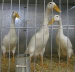 3 white ducks Bev Dunbar Maths Matters