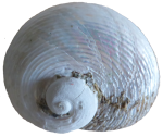 3D White spiral seashell - clockwise - Bev Dunbar Maths Matters