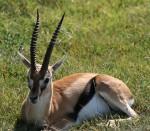40 cm Length of African Springboks horns Bev Dunbar Maths Matters