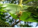 5 cm long body Golden Silk Orb Weaver Spider Vanuatu Bev Dunbar Maths Matters