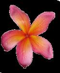5 petal pink Frangipani - Bev Dunbar Maths Matters