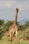5.5 m tall African Giraffe Bev Dunbar Maths Matters