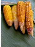 6 Cobs of Corn Vanuatu Bev Dunbar Maths Matters