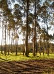 60 m tall Karri Trees Pemberton WA Bev Dunbar Maths Matters