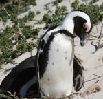 65 cm tall African Penguin Bev Dunbar Maths Matters