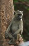 85 cm long African Olive Baboon Bev Dunbar Maths Matters