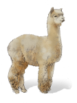 Adult Alpaca 65 kg - John Duffield duffield-design