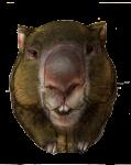 Adult Wombat mass 25 kg - John Duffield duffield-design