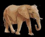 African Bush Elephant 5000 kg - John Duffield duffield-design