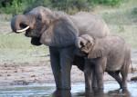 African Elephant Volumes Bev Dunbar Maths Matters