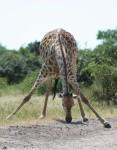 African Giraffe eats average 34 kg per day Bev Dunbar Maths Matters
