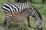 African zebras live for about 28 years Bev Dunbar Maths Matters