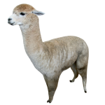 Alpaca-3-Bev-Dunbar-Maths-Matters