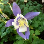Aquilegia flower symmetry Bev Dunbar Maths Matters
