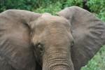 Area of African Elephants Ears 2 Bev Dunbar Maths Matters