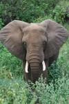 Area of African Elephants Ears Bev Dunbar Maths Matters