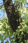 Bee Swarm Bev Dunbar Maths Matters