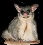 Bev Dunbar Maths Matters Possum
