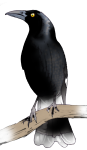 Bird - Currawong - John Duffield duffield-design