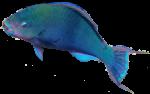Blue Parrot Fish Bev Dunbar Maths Matters