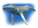 Blue Whale John Duffield duffied-design
