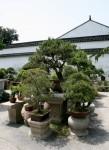 Bonsai Trees Shanghai Bev Dunbar Maths Matters