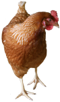 Brown hen - farm animals - Bev Dunbar Maths Matters
