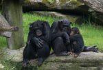 Chimpanzee Family Bev Dunbar Maths Matters